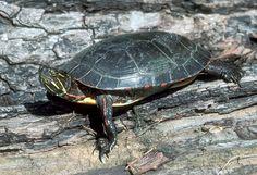 An adult Midland painted turtle.