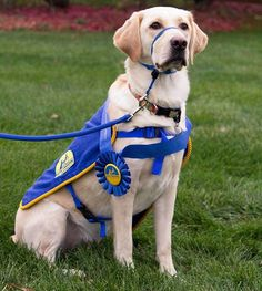 Good luck to all @ccicanine puppies matriculating into professional training today. #weareindependence #ccigraduation