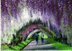 túnel de wisteria en japón
