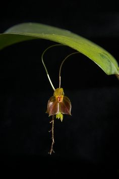 Lepanthes hexapus | Orchids | Pinterest