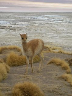 Baby Alpaca, Bolivia