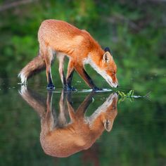 PERFECT TIMING...RED FOX DRINKING, LOOK AT HIS REFLECTION!