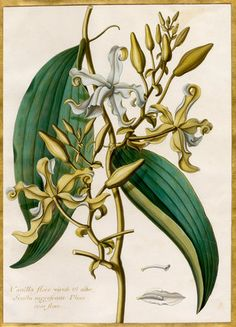 Claude Aubriet -- Vanilla flore viridi et albo -- Claude Aubriet -- Artists -- RHS Prints