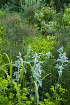 Stachys byzantina + Euphorbia stricta + Foeniculum vulgare