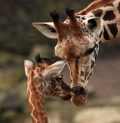 giraffes                                                                                                                                                                                 More