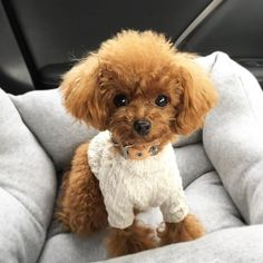 Koko's 🐶 Haircuts Cute Little Puppies, Cute Dogs And Puppies, Baby Dogs, Pet Dogs, Doggies, Super Cute Animals, Cute Funny Animals, Cute Baby Animals, Toy Poodle Puppies