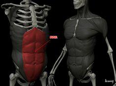 Muscles (Rectus Abdominis)
