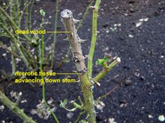 Rose Garden How to prune roses. Examples of dead rose wood and necrotic tissue advancing down the rose stem. Rose Bush Care, Rose Care, Trim Rose Bushes, How To Trim Roses, Knockout Roses, Heirloom Roses, Rose Stem, Rose Trees, Mini Roses