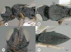 Oxyscelio teli holotype