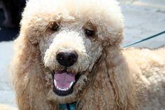 Adoringly happy Poodle! #dogs #poodles
