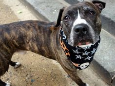 """JAYJAY - A1068939 - - Manhattan  Please Share:   TO BE DESTROYED 04/05/16 **AVERAGE SENIOR** A volunteer writes: JJ was surrendered to our care by his long time family as they moved to a place where he is not welcome. Let their loss be your gain! He's a gorgeous brindle boy, slender and gentle. His former family tells us that he's housetrained (check), loves to play tug """"when he feels like it"""", knows 'sit' and 'stay', and does"""