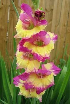 Perennial Gladiolus Flower Seeds, Rare Sword Lily Seeds for DIY HOME garden planting Aerobic potted plants decoration Gladiolus Bulbs, Gladiolus Flower, Exotic Flowers, Amazing Flowers, Beautiful Flowers, Party Fiesta, Flower Seeds, Dream Garden, Plant Decor