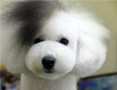How to care for your dog's curly hair at home, from Chetek Veterinary Clinic.  Aaaahh! i love this hair hahaha