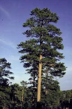Montana Designated The Ponderosa Pine As The Official