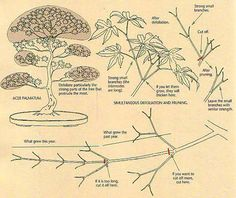 Developing Ramification on Deciduous Bonsai #4
