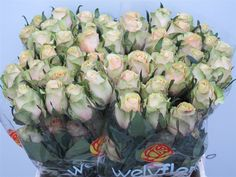 #Rose #Pistache; Availalbe at www.barendsen.nl