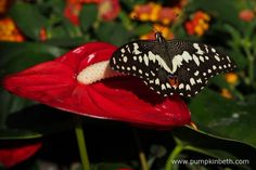 A Chequered Swallowtail butterfly, also known as Papilio demoleus, pictured resting on an Anthurium flower, inside the Butterfly Dome, at the RHS Hampton Court Palace Flower Show 2016.