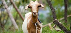 Malaria vaccine from the teats of genetically altered goats Keeping Goats, Goat Meat, Animals, Goat Cheese, Manhattan, Coupons, Brooklyn, October, Advice