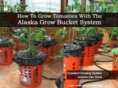 How To Grow Tomatoes With The Alaska Grow Bucket System