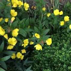 Vintage Grace: May Garden Walk- evening primrose