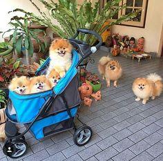 Sable Pom Family