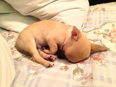 Oh so precious angel baby Chihuahua !!