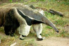 haha okay last one. Anteater. Favorite lol