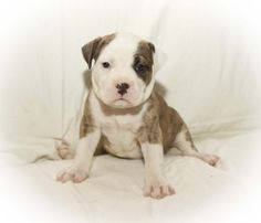Puppy #7 is an adoptable American Staffordshire Terrier Dog in Dartmouth, NS. This is one of 10 pups...The mom is a American Staffordshire Terrier and the dad was said to be a Valley Bull Dog. They ar...