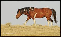 Blood bay pinto mustang stallion - wild horse