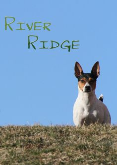 We take Rat Terriers beauty and dream of what the will become!