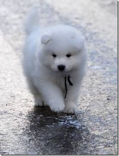 Samoyed Dogs, Our Best Friends | English Russia | Page 4 * I is sirius * * I is tuff fluff*