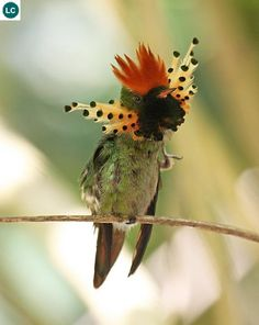 Chim ruồi Coquette chùm lông cổ Nam Mỹ | Tufted coquette (Lophornis ornatus)(Trochilidae) IUCN Red List of Threatened Species 3.1 : Least Concern (LC) | (Loài ít quan tâm)