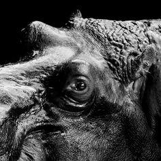 Hippo by Lukas Holas