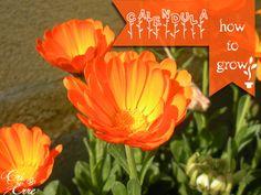 Come coltivare e utilizzare la calendula #howtogrow #calendula