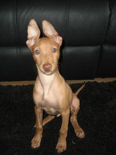 cirneco dell etna pup Sonny