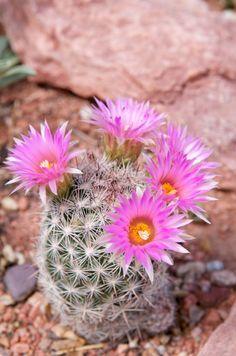 Escobaria vivipara var. rosea blooming in early June in The Barnett Garden, Pueblo, Colorado.