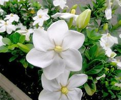 Gardenia thunbergia white gardenia seeds