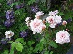 Rose.Perle.D'or.05.14.2013.jpg (141.3 KiB) Viewed 697 times