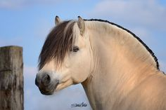 Fjord Horse (photography by Simone Aumair) Pony Breeds, Horse Breeds, Pretty Horses, Horse Love, Animals And Pets, Cute Animals, Fjord Horse, Horse Posters, Most Beautiful Animals