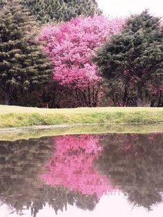 Cherry trees on fairway #9