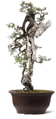 Bonsai 1849 #bonsaitrees
