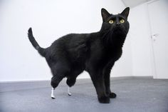 Oscar, the World's First Bionic Cat. #disabled #pets