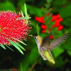 Top 50 water-wise plants Bottlebrush Hummingbirds love bottlebrush, a shrub with colorful flowers carried in dense, bristle-like spikes. Needs moderate water. Hummingbird Flowers, Hummingbird Garden, Water Garden, Lawn And Garden, Garden Plants, House Plants, Red Flowers, Beautiful Flowers, Colorful Flowers