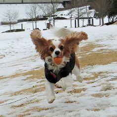 テリーの秘密基地まだいちめん雪でした…❄ 水分多い雪なのでテリーのテンション🐶💧⤵⤵⤵ 雪の少ない所で少しだけボールして遊んで来ました。 冬だけ九州で暮らしたい…(^^; #キャバリア #キャバリアキングチャールズスパニエル #ブレンハイム #テリー #おさんぽ #いつもの公園 #run #飛行犬 #元気玉 #元気玉発射 #元気宅配便