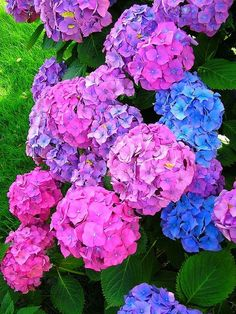 Hydrangeas remind me of my two Grandmas - one grew pink ones,& the other grew blue (the blue were my favourite!)