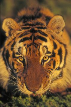 Siberian Tiger - by: (Thomas Kitchin)