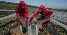 Ignacio Gómez Escobar / Consultor Retail / Investigador: 200 emprendedoras cabeza de familia cosechan frutas para Alpina