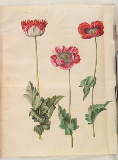 Gottorfer Codex, vol. gouache on parchment by Hans Simon Holtzbecker, Papaver somniferum, - Statens Museum for Kunst, National Gallery of Denmark Vintage Botanical Prints, Botanical Drawings, Botanical Art, Poppy Drawing, Floral Drawing, Vintage Illustration Art, Illustrations, Flower Prints, Flower Art