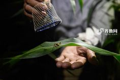The Chinese Town Where Crickets Are Worth Much More Than Gold - http://www.odditycentral.com/news/the-chinese-town-where-crickets-are-worth-much-more-than-gold.html