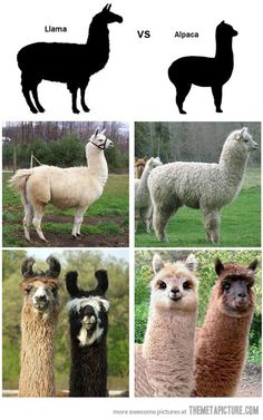 There's a difference, people! ... btw alpacas are better JUSSAYIN.  NO LLAMAS